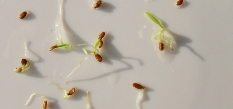 Обработка семян перед посевом
