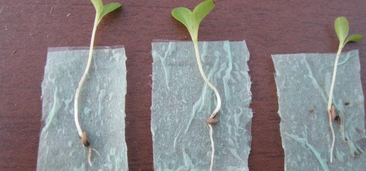 Выращивание рассады способом «самокрутки»